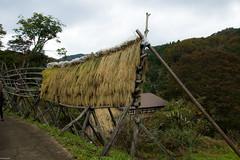 mountain rice (Andi [アンデイ]) Tags: kurumidani japan kyoto kyotango mountain village rural ruraljapan nature people forest tea greentea macha food photography