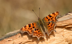 Comma (Polygonia c-album) (Bob Eade) Tags: butterflies comma polygoniacalbum lepidoptera lewes eastsussex sussex woodland wildlife nature nikon macro spring hibernator butterfly insect vanessid