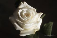 (Sous l'Oeil de Sylvie) Tags: rose crème cream fleur flower pdc macrophotographie macro sousloeildesylvie pentax ks2 tamon90mm bokeh dof profondeurdechamps mars 2017 gouttes drops glycérine glycerin