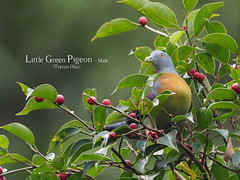 Little Green Pigeon - Male (WilliamPeh) Tags: olympus omd em5 birds birding wild wildlife explore little green pigeon