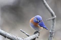 Western bluebird (jlcummins - Washington State) Tags: bird bethelridge washingtonstate whitepasshighway nature fauna mountainbluebird yakimacounty