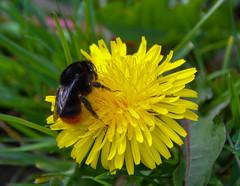 Bumble Bee (Claire-Louise Beyga) Tags: bee spring springtime april 2417 sunday sundaymorningwalks nikon dslr dandelion flower green yellow bees nature