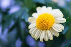 marguerite 6665 (junjiaoyama) Tags: japan flower marguerite plant winter white yellow