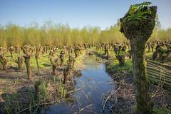 Biesbosch (Pieter Mooij) Tags: dordrecht zuidholland nederland nl biesbosch wilgen wilgenbos