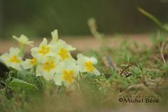 primevère 0363 (studio gimi) Tags: macro grosplan planrapproché depthoffield nature natur fleur flower blumen primevère champignon profondeurdechamp caillou pierre rose jaune yellow gelb blanc white weiss
