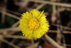 Huflattich (Tussilago farfara) (Hugo von Schreck) Tags: hugovonschreck huflattich tussilagofarfara macro makro wildflower wildblume blüte blume canoneos5dsr tamron28300mmf3563divcpzda010
