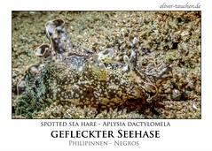 Osterhase unter Wasser (jeolpe) Tags: nudibranchs nacktschnecken unterwasser meeresschnecken meerestiere tauchen scuba diving