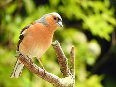 Are you watching me? (macfudge1UK) Tags: ©allrightsreserved 2017 avian bbcspringwatch bird branch britain britishbird britishbirds bush chaffinch coolpix coolpixp610 england fauna finch fringillacoelebs gb greatbritain nature nikon nikoncoolpixp610 oxfordshire oxon p610 perch perching rspbgreenstatus spring tree uk wildlife dmslair coth alittlebeauty coth5