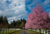 Country Lane (1bluecanoe) Tags: country spring plumtrees blossoms gigharbor wa landscape 1bluecanoe