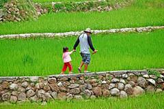 Life is a walk (xeno(x)) Tags: 2010 bangna philippines francesca junior cordillera rice fields green stones canon 5d3 xeno walls people