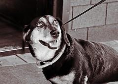 Eyes (salaminijo) Tags: dog dogs pet pas animals outdoor bw blackandwhite lightsanddark shadows crnobela monochrome lovepets dogfriends canon markiii 1d ef28135mm belgrade beograd zemun semlin beauty eyes