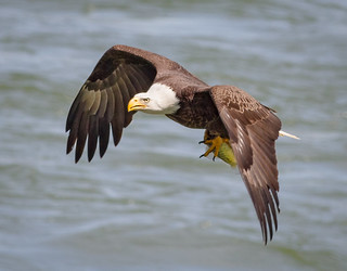 Eagle with a bass