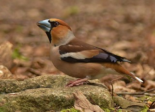 Cock Hawfinch