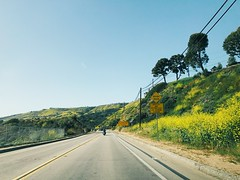 palos verdes peninsula super-bloom. (howard-f) Tags: superbloom socal southerncalifornia aftertherain spring palosverdespeninsula wildflower wildmustard yellow yellowflower allergy palosverdesdrive sundayafternoondrive vsco vscocam la losangeles nature landscape cruizing sunnyday