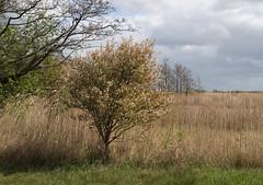 De Houtwielen (Jeroen Hillenga) Tags: houtwielen landscape landschap riet netherlands nederland natuur nature natuurgebied staatsbosbeheer fryslân friesland veenwouden feanwâlden nieuwenatuur