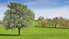 Dolce Emilia (_Nick Outdoor Photography_) Tags: floweringtree greenlawn nativeland nickphotography thebloomedtree appennino regioneemilia appenninoemiliano casina emotionaltrip greenlandscape