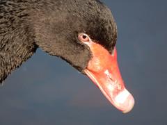 Zwarte zwaan / Black swan (Meino NL) Tags: zwaan zwartezwaan swan blackswan cygnusatratusvogel bird