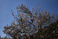 Magnolien (Helmut Reichelt) Tags: magnolien garten stein wanderung april frühling geretsried bayern bavaria deutschland germany leica leicam typ240 captureone10 colorefexpro4 leicasummilux35mmf14asphii