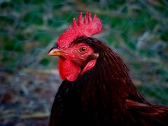 In Memoriam (boriches) Tags: chicken red island rhode