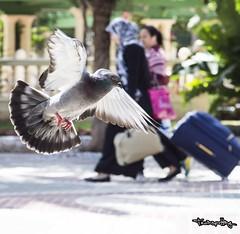 palomas en el parque / pigeons in the park (Uno de Melilla) Tags: sonyalphanex3 samyang85mmf14 85mmf14 sonynex3 pwmelilla paloma palomas pigeons pigeon
