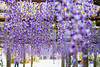 DSC_1649 (sayo-tsu) Tags: 藤 wisteria 牛島のフジ 春日部市 埼玉県 kasukabe saitama 特別天然記念物