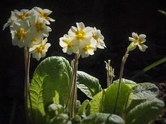 Polyanthus (beautific) Tags: polyanthus flower lemon