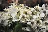 2017-03-08_0278n_waldor (lblanchard) Tags: 2017flowershow displaygarden waldor