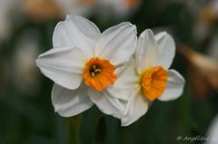 Jonquille (Angélique V) Tags: jonquille fleur finistère latorche printemps bretagne plomeur macro 100mmf28macrowr pentax k5ii k5 proxi vegetal