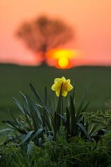 Aston Daffodil Sunset (Julian Barker) Tags: aston trent derby derbyshire daffodil england uk sunset dusk flora yellow flower tree limited depth field julian barker canon dslr 600 opportunist