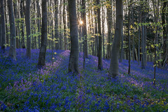 rays (Emma Varley) Tags: bluebellwood bluebells spring uk eartham sunrise rays radial light beech leaves sussex