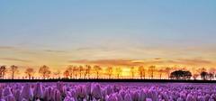 Ondergaandezon op Tulpen (Omroep Zeeland) Tags: tulpen bloembollen zeeland natuur weer buienradar zuidbeveland landschap voorjaar ondergaandezon