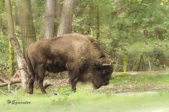 IMG_5564 (heguenter) Tags: natur 2017 ostern gangelt tierpark wisent wolf luchs vogel