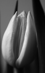 Play of Shades with a Tulip (Myk499 - Pure & Simple.) Tags: myk499nikond3300 closeup nature indoor flora flower dof depthfield nikon35mm18 bw monochrome tulip focus macro