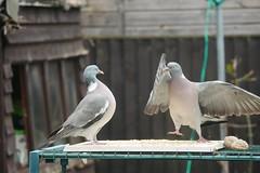 21 April 2017 (9) (AJ Yakstrangler) Tags: yakstrangler pigeon pigeons