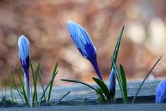 Krokus (evisdotter) Tags: krokus crocus blommor flowers macro bokeh sooc colors
