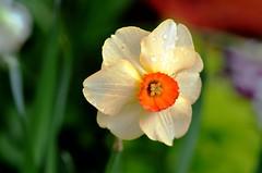 9719ex  dewy delight (jjjj56cp) Tags: flower flowers blossoms blooms spring yellow gold golden orange dof krohnconservatory edenpark cincinnati oh cincinnatioh springflowershow d7000 jennypansing narcissus