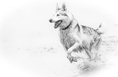 IMG_1094 (Cuan Dubh Designs) Tags: dog action blackandwhite wet splash husky utonagan