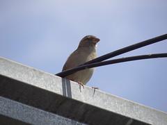 DSC00628 Pardal (familiapratta) Tags: sony dschx100v hx100v iso100 natureza pássaro pássaros aves nature bird birds novaodessa novaodessasp brasil