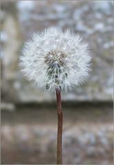 Dandelion (mikeyp2000) Tags: seeds spring flower stf bricks seed wall dandelion bokeh