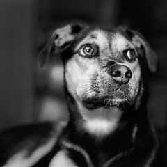 Dulcie (ascholtz101) Tags: 2016 adobelightroomcc andrewscholtz dulcie nikcollection nikonafnikkor50mmf18d nikond7200 silverefexpro ascholtz101 bw blackwhite blackandwhite bokeh dog dogs indoors mono monochromatic monochrome niftyfifty portrait portraits shallowdepthoffield shallowdof squareformat