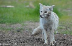 Corsacfox (pclaesen) Tags: corsacvos fox foxes zoo dierentuin nederland netherlands beeksebergen safariparkbeeksebergen hilvarenbeek brabant nikon nikond3200 nikonphotography nikonshots animal animals animalphotography corsacfox vulpescorsac steppevos