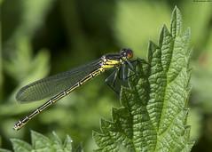 Red-eyed Damselfly : Erythromma najas (Jerry Hawker) Tags: redeyeddamselfly westhay moor somerset lavels nature dragon dragonflies dragonfly damselfly jerryhawker