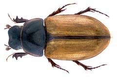 Lunaphodius lunifer Solsky, 1876 Syn.: Aphodius (Lunaphodius) lunifer Solsky, 1876 (urjsa) Tags: coleoptera käfer beetle insect scarabaeidae aphodiidae aphodiinae lunaphodius lunifer lunaphodiuslunifer turkmenia turkmenistan asia asien taxonomy:binomial=lunaphodiuslunifer taxonomy:order=coleoptera taxonomy:family=scarabaeidae taxonomy:genus=lunaphodius taxonomy:species=lunifer geo:country=turkmenistan coleopteraus aphodius aphodiuslunifer taxonomy:binomial=aphodiuslunifer