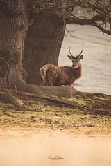 Behind you (Becca Fulcher) Tags: stag deer redstag woburn wild nature wildlife