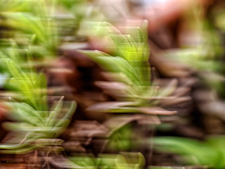 Intentional Blur: Speedy Rosemary