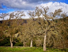 Grove of Oaks Early Spring (Charlie Day DaytimeStudios) Tags: mountain mountains landscape meadow meadows hills hillside mountainpeak landscapesky sunolregionalpark sunolca sunolpark