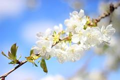 Diagonale sur-exposée (StephanExposE) Tags: cerise cerisier cherry cherrytree sakura fleur flower marestsurmatz oise france printemps spring canon 600d 50mm stephanexpose