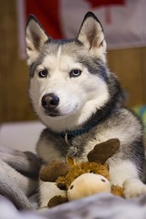 New toy~ (Siberian Forest Photography) Tags: dogs toy husky sage siberianhusky