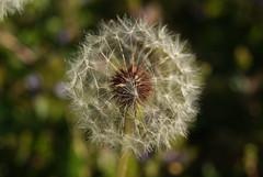 Make A Wish (vick28658) Tags: macro dandelion makeawish intheyard project365 ayearofhappiness