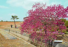 Spring Farm (greggusan) Tags: flowers trees sky rural countryside spring nikon asia farmers farm south blossoms korea iksan jeollabukdo jeonbuk d5100